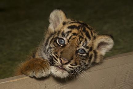 bengal tiger newborn cubs
