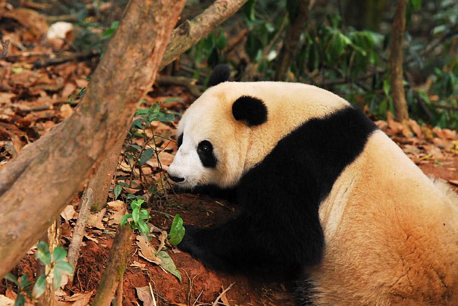 Su Lin (giant panda