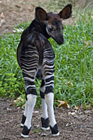 The okapi is one of the endangered animals that will be part of the Alliance's breeding program.
