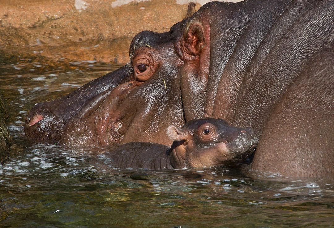 Hippopotamus Face