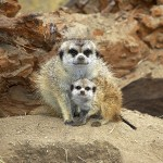 Meerkats have dark hair around eyes to protect from sun.