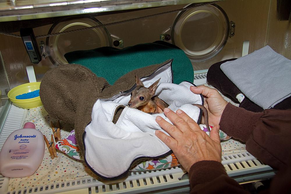 Tag Archives: marsupials