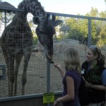 Of course, the giraffes wouldn't turn down some delicious acacia. Intern Kayla feeds Nikki the giraffe some of this leafy browse, a big favorite among the giraffes. By the end of the day the giraffes have picked the branches around their enclosure clean. They're eager accept this bonus snack.