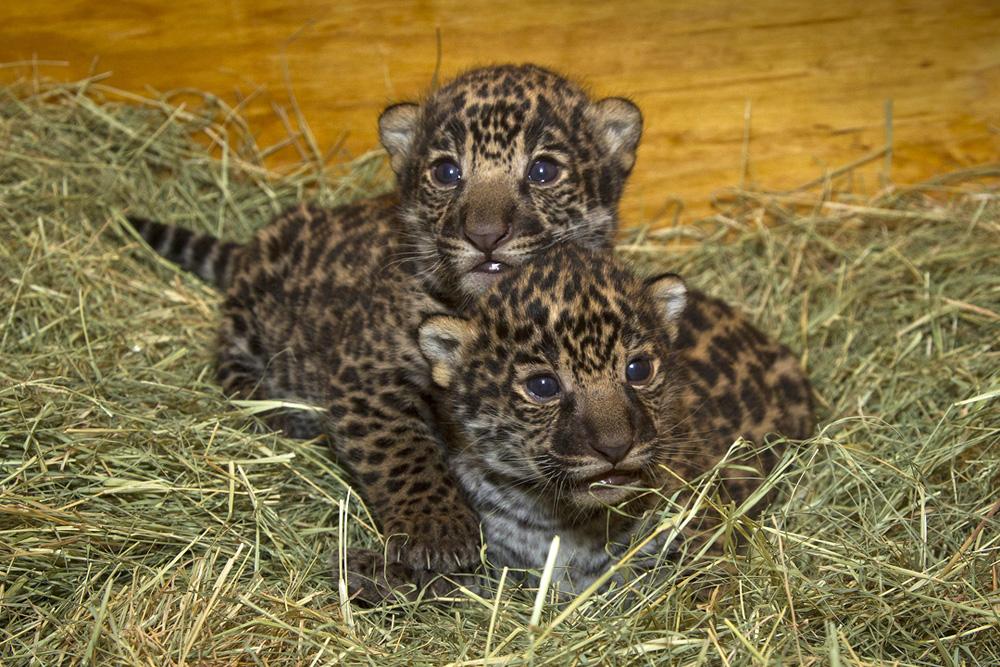 jaguars animals cubs - photo #24