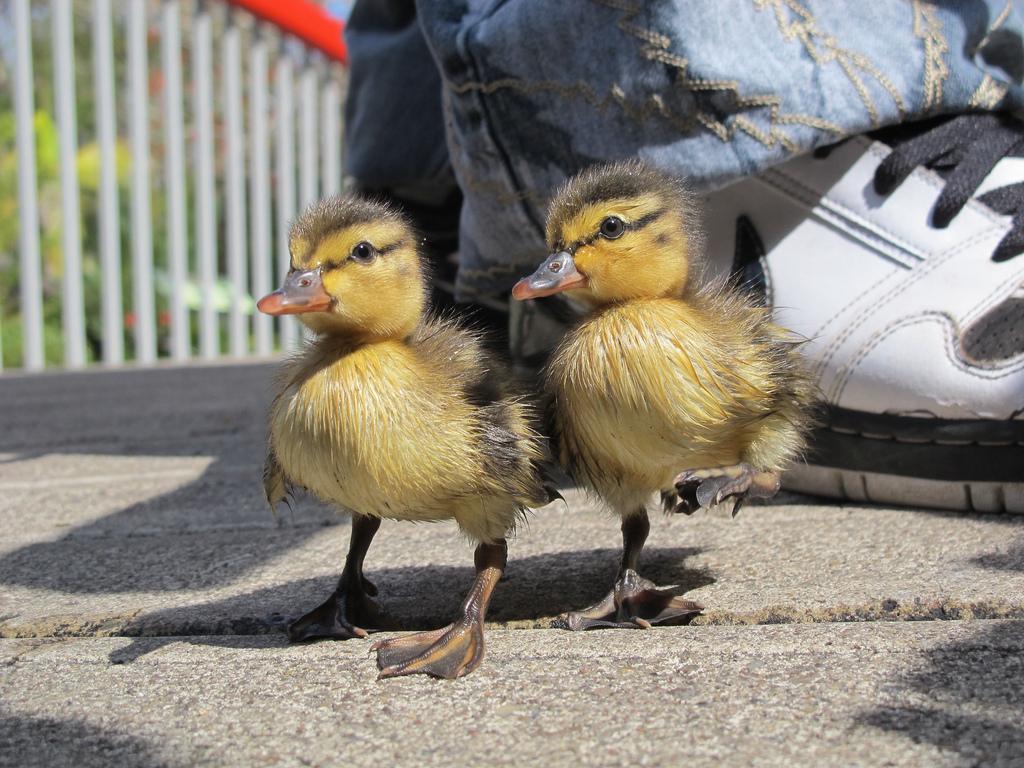 dabbling vs diving ducks