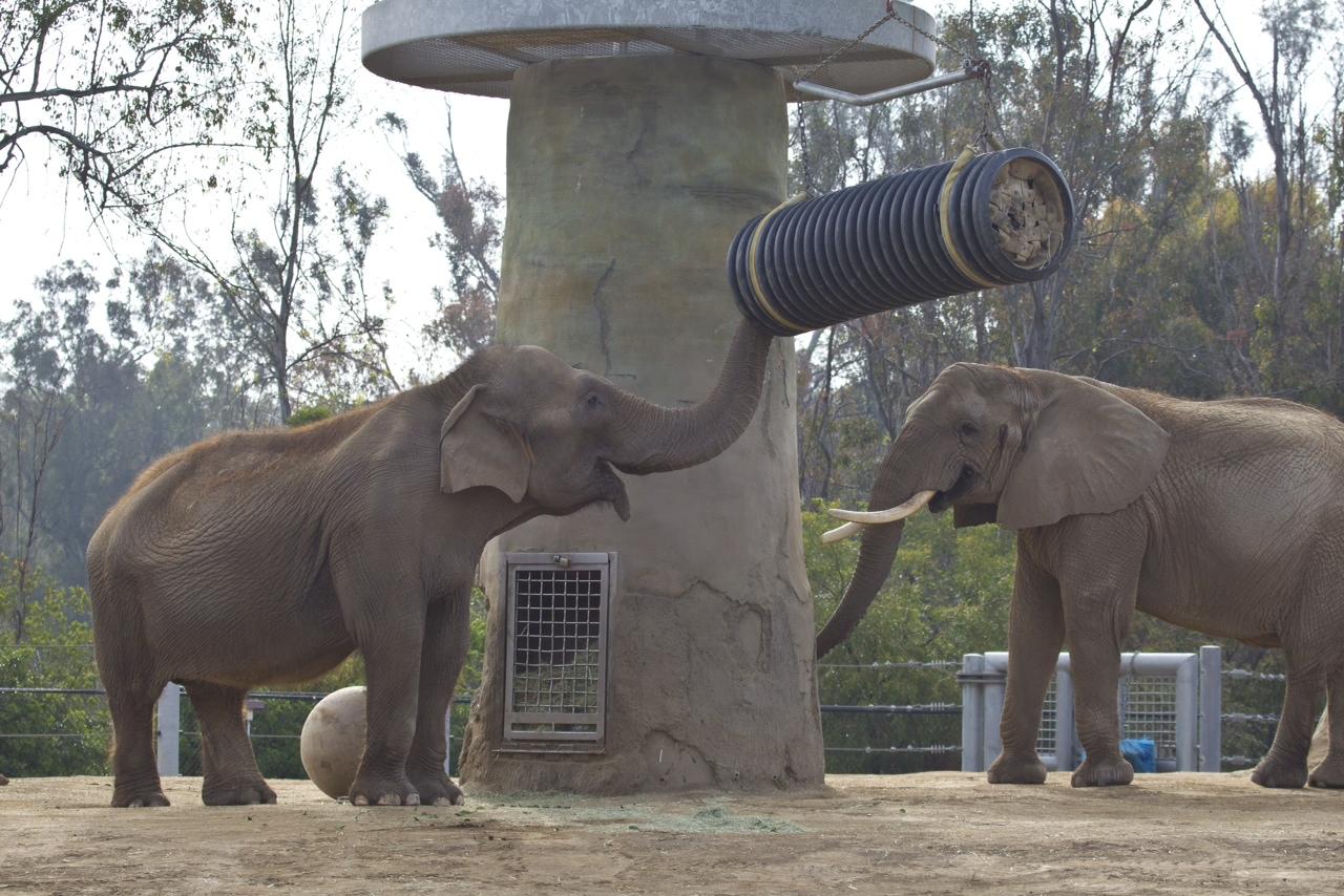 Les éléphants distinguent les différentes langues humaines T12_0404_057