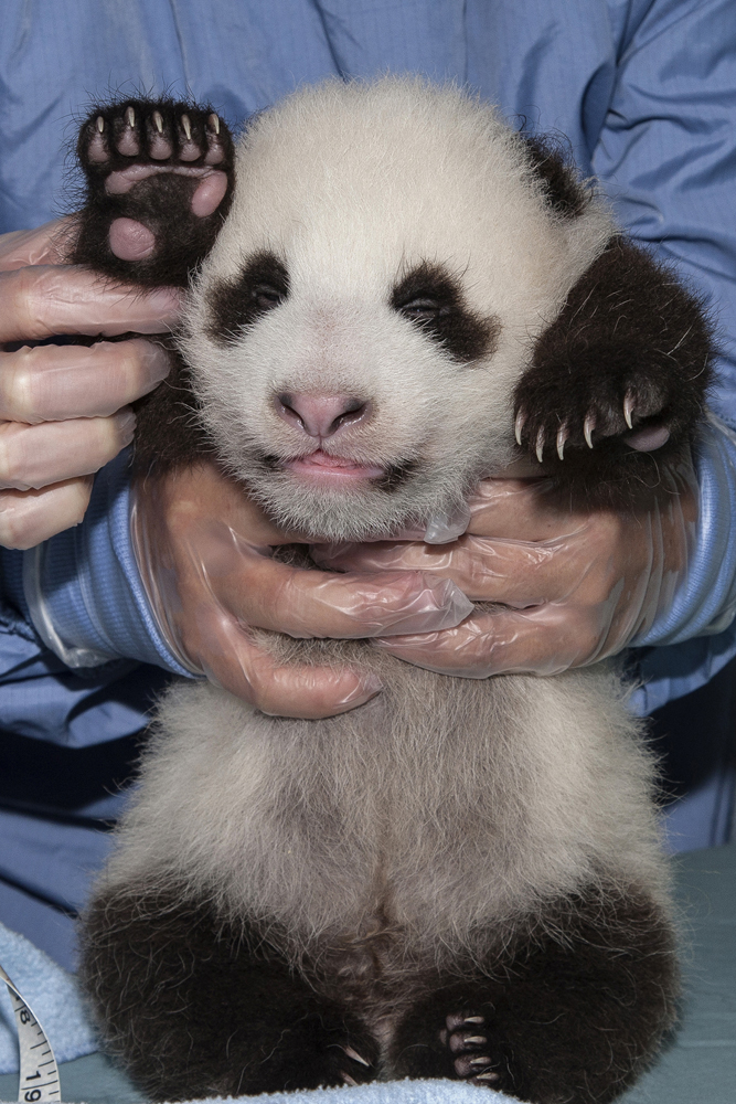Pictures of pandas (sr...