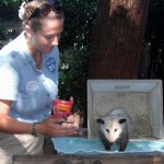 Ms. O'Connor introduced Mussopo, a Virginia opossum, who is an animal ambassador for the San Diego Zoo. Animal ambassadors are used to visit schools, hospitals, and other locations to teach the public about the species. The interaction helps people connect with the species and also provides the animals with enrichment. (Enrichment is anything that helps to stimulate the animal mentally or physically.)