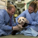 Yes, veterinarians even examine panda cubs!