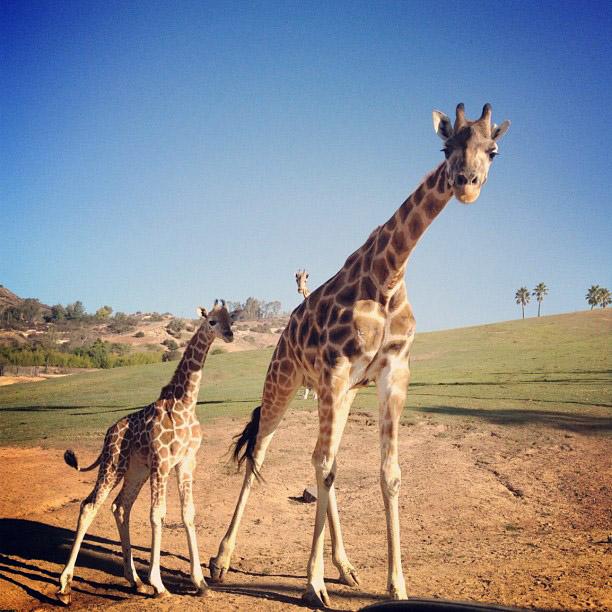 Giraffe Attack!! - Magazine cover
