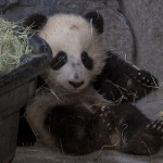 Will Xiao Liwu enjoy a hay-filled tub as much as he father does?