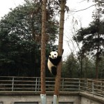 Zhen Zhen was busy climbing trees just before her estrus period started.