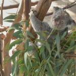 Sooky, as seen on Koala Cam.