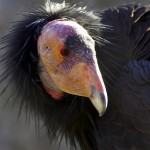 A California condor in the recovery program