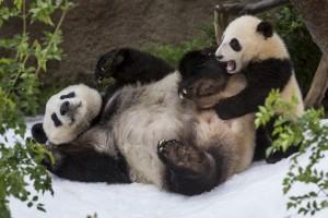 pandas Bai Yun, Xiao Liwu, snow