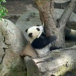 Xiao Liwu rests against his pillow as he plays Big Boy Panda with bamboo.