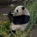 Gao Gao is fueling up for breeding season. Little does he know....