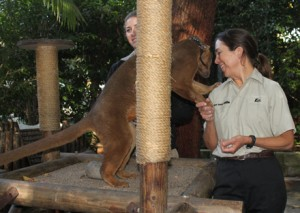 Isa, the fossa, demonstrates his affection towards Ms. Weibel who helped to raise him in the Neonatal Intensive Care Unit. Only found in Madagascar, fossas have lost 94% of their original habitat. Consumers– be aware of where your products come from to make sure you don't contribute to these animals' habitat loses!