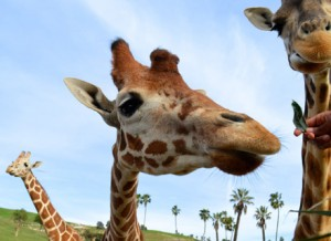 The Safari Park is home to many giraffes, the tallest living land animal, growing up to sixteen to twenty feet tall! Each giraffe's pattern of spots acts like its own unique fingerprint.