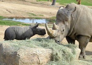 On February 25th, 2013, the Safari Park had a new addition of baby Southern White Rhinoceros. The baby rhino, Kayode, is enjoying his new life here with the other rhinos and animals in the field. He has quite the personality, that one!