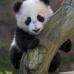 Xiao Liwu at 6 months old. He has truly mastered tree climbing these days!
