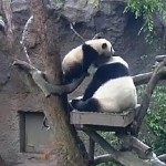 Mr. Wu and Mom wrestle in the north exhibit's hammock