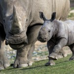 A southern white rhino calf trots next to Mom at the Safari Park.