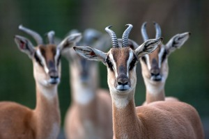 Soemmerring's gazelles keep an eye on their keeper.