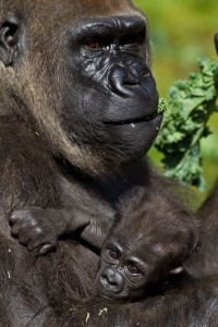 Kale is one of the many leafy green items fed to the Zoo and Safari Park gorillas.