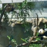 Bai Yun seems to be keeping an eye on her cub in this Panda Cam screen shot.