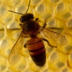 The damaging effects commercially managed bees experience from pesticides are also suffered by native bees.