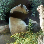 Gao Gao scratches an itch while relaxing in the north enclosure.