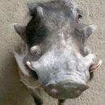 Meet Stuart, a southern warthog!