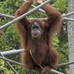 Orangutan Indah