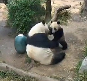 Mother and cub engage in a wrestling session.