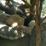 Being a panda mother is hard work! Bai Yun takes a well-deserved nap.
