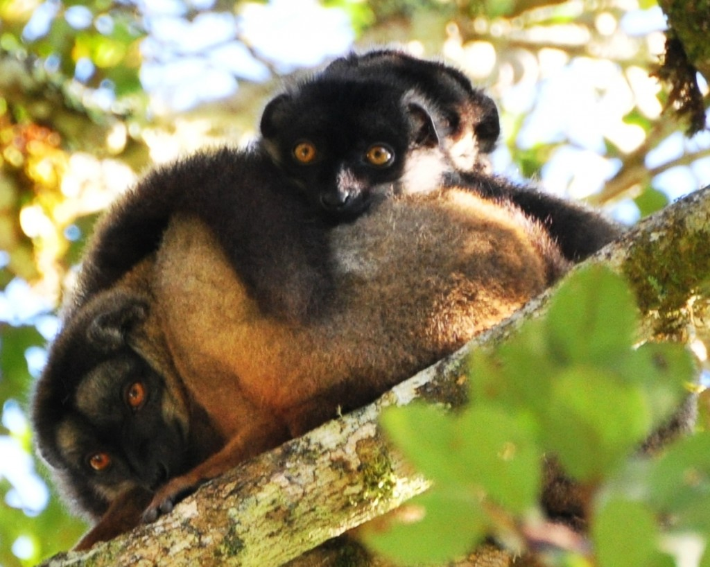 Brown lemurs