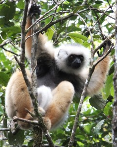 Diademed sifaka (photo by Chia Tan)