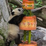 Giant Panda Climbs Cake During First Birthday at San Diego Zoo