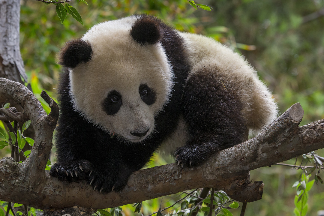 Xiao Liwu continues to grow  learn  and thrive at the San Diego Zoo  San Diego Zoo Blogs
