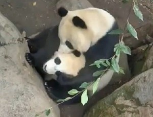 Mother and son enjoy a playful moment on Panda Cam.