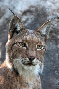 Come see the Zoo's lynx!