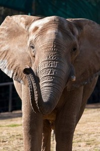 The mighty and majestic Msholo is a wonderful part of the Safari Park's African elephant herd.