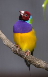 It's hard to miss the brightly hued Gouldian finch!