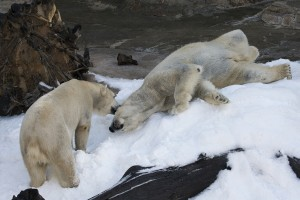 Chinook, left, and Kalluk frolicked in the snow a few months ago.