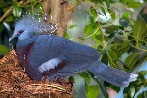 A dry Victoria crowned pigeon relaxes in the Zoo's Owens Aviary.