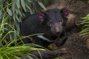 Tasmanian devil Nick gets eye to eye with our photographer.