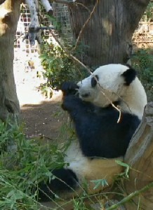 Yun Zi munches his bamboo like a pro!
