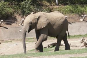 Vusmusi takes a stroll.