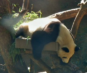 Bai Yun seems to like the spotlight!